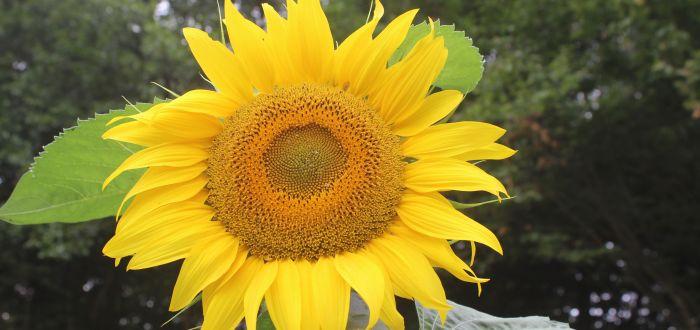 Das Team-Sonnenblume
